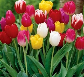 Тюльпаны смесь 10 шт